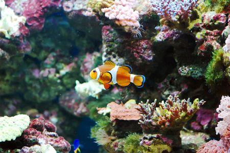The Marine Fish - Ocellaris clownfish Stock Photo - 6975142