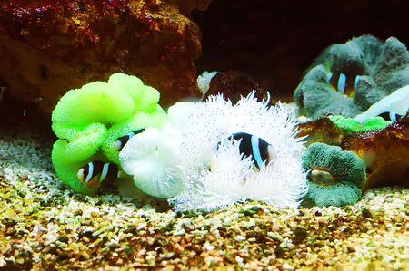 The Marine Fish - Ocellaris clownfish Stock Photo - 6975173