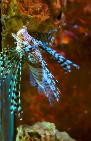 Pompano - Lionfish in the aquarium Stock Photo - 6975072