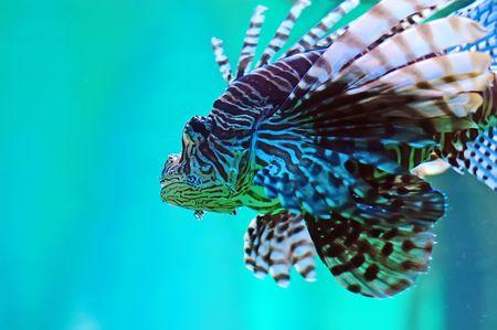 Pompano - Lionfish in the aquarium photo