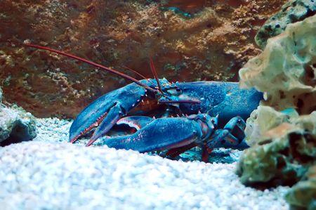 Homarus gammarus - Lobster in Aquarium