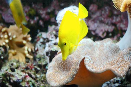 zebrasoma: Tropical fish (Zebrasoma flavescens) floats in the aquarium