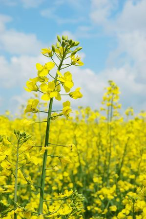 A field with flowering yellow oilseed rape