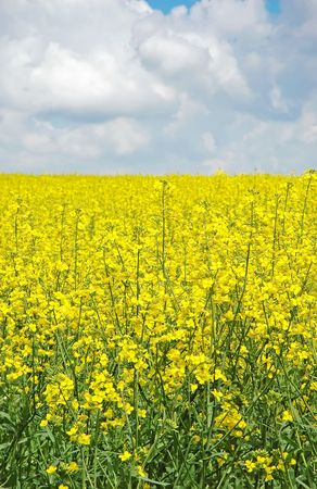 A field with flowering yellow oilseed rape photo