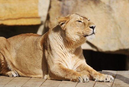 The Resting lioness at the zoo photo