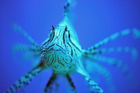 The lionfish in the aquarium photo