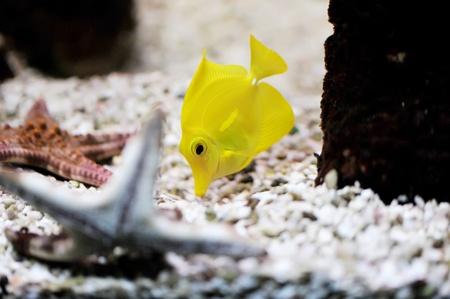 Tropical fish (Zebrasoma flavescens) floats in the aquarium Stock Photo - 8546440