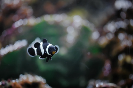 The Marine Fish - Ocellaris clownfish Stock Photo - 8546404