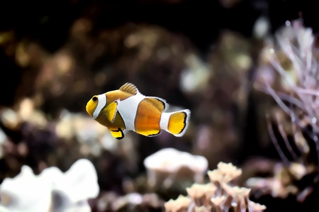 The Marine Fish - Ocellaris clownfish Stock Photo - 8546403