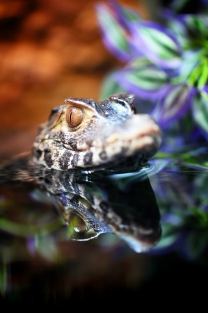 The small caiman in water photo