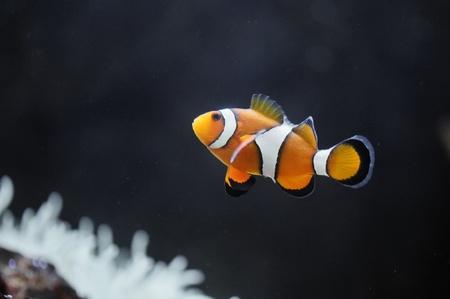 The Marine Fish - Ocellaris clownfish photo