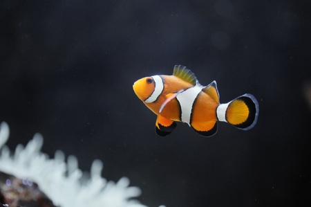 amphiprion ocellaris: The Marine Fish - Ocellaris clownfish Stock Photo