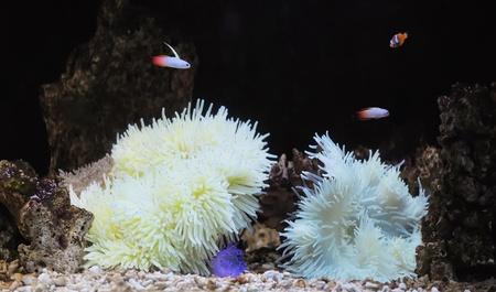 Colorful sea anemone and coral in a aquarium Stock Photo - 8546553