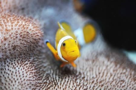The Marine Fish - Ocellaris clownfish Stock Photo - 8546463