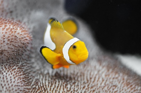 The Marine Fish - Ocellaris clownfish Stock Photo - 8546486