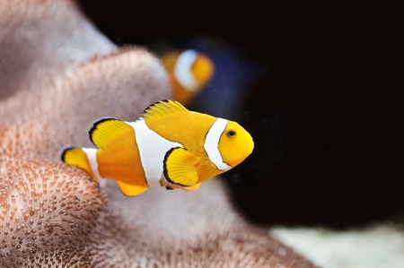 The Marine Fish - Ocellaris clownfish Stock Photo - 8546445