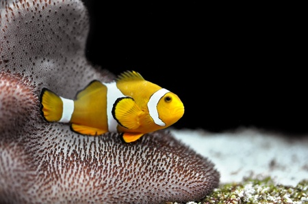 The Marine Fish - Ocellaris clownfish Stock Photo - 8546441