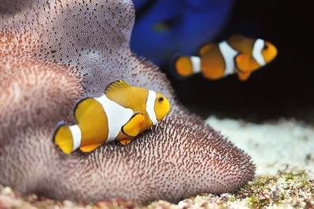 The Marine Fish - Ocellaris clownfish Stock Photo - 8546506
