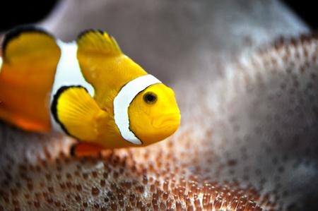 ocellaris: The Marine Fish - Ocellaris clownfish Stock Photo
