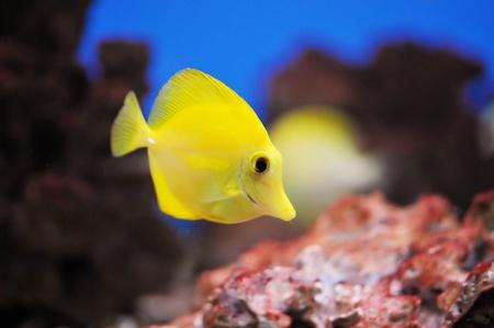 zebrasoma: Tropical fish (Zebrasoma flavescens) floats in the aquarium  Stock Photo