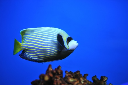 Side view of bluefaced Angelfish (Pomacanthus xanthometapon) swimming Stock Photo - 8546425