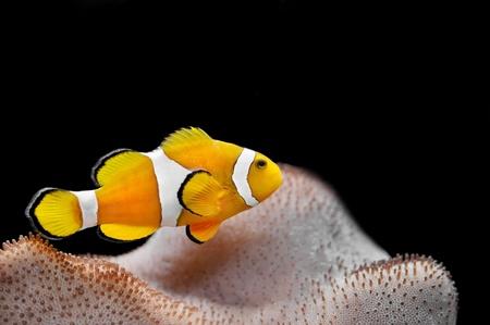 pez payaso: Los peces marinos - pez payaso Ocellaris Foto de archivo