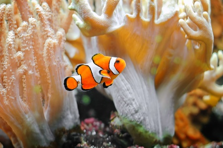 A small tropical fish - the clownfish . Stock Photo