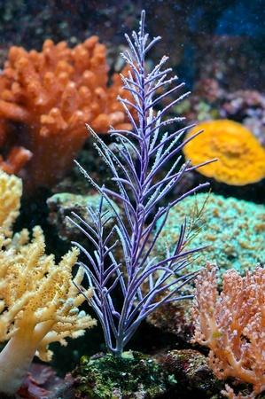 A Beautiful purple sea anemone in aquarium photo