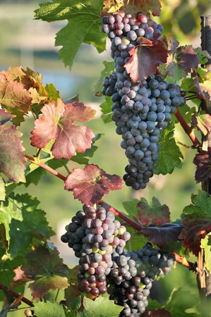 Bunch of grapes on grapevine right before harvest  Stock Photo