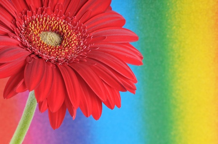 The detail of gerbera on the color background photo