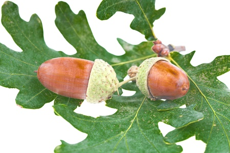 The acorns on the white background . Stock Photo - 11707894