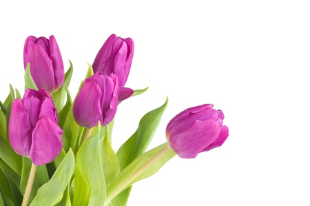 The bouquet of tulips on a white background .