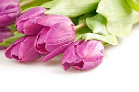 The pink tulips on a white background . photo