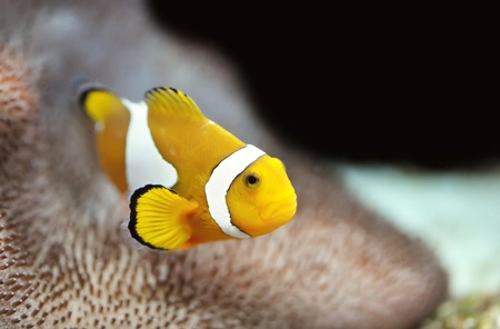 The Marine Fish - Ocellaris clownfish photo