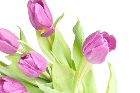 The purple tulips on a white background . photo