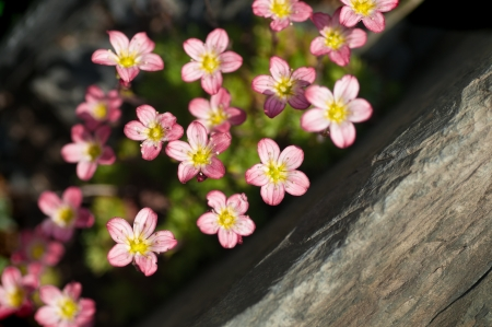 Saxifraga arendsii - small pink rock plant photo
