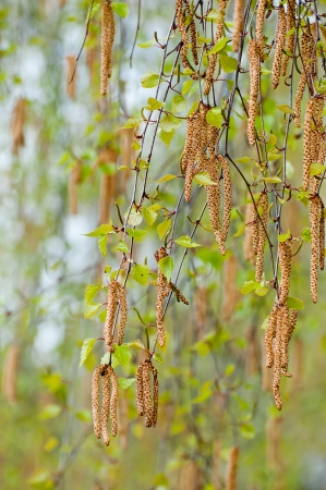 The catkins - birch and the catkins Stock Photo