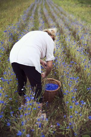 Organic Farming - Farmer harvests cornflower