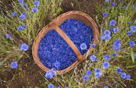 The cornflowers flowers in a wicker basket
