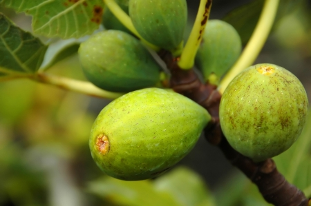 Figs on a fig tree on the island of Pico in the Azores, Portugal