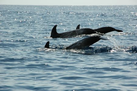 Dolphins in the Azores swimming for tourists Stock Photo