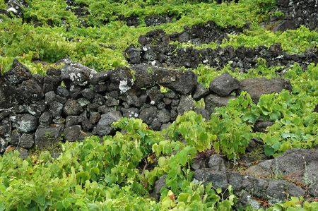 Typical Azores vinyard with rock wall dividers photo