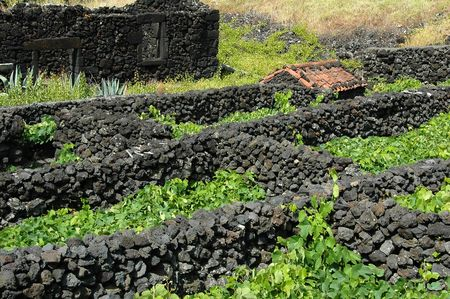 portugal agriculture: Typical Azores vinyard with rock wall dividers Stock Photo