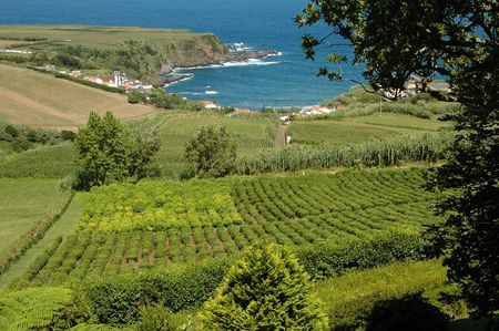 Tea fields blooming and with leaves ready to be picked on an Island in the Azores Stock Photo