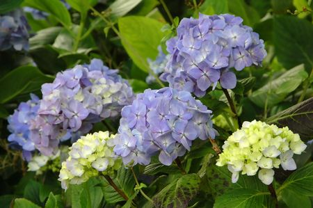 Purple and Blue Hydrangea in the azores