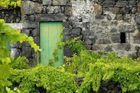 Old azores cottage in ruins with grape vines attached to the walls