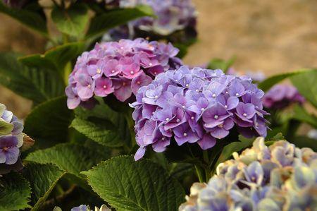 Purple and Blue Hydrangea in the azores