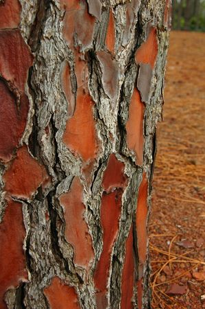 Brown rough Tree Bark background from the Azores