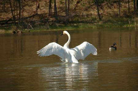 White swan with wings out taking off Stock Photo