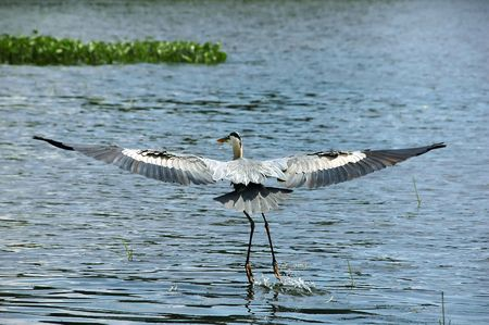 Blue Heron flying over a lake near boats Stock Photo